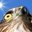 Birds of Europe and World - Sparrow-hawk — Stock Photo #3572438