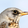 Birds of Europe and World - Fieldfare — Stock Photo