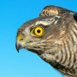 Birds of Europe and World - Sparrow-hawk — Stock Photo #3572474