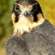 Stock Photo: Young hobby falcon