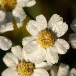 sfondo da fiori bianchi coperti di rugiada — Foto Stock