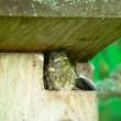 Nestling of Pied Flycatcher — Stock Photo #3572641