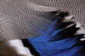 Plumaje de un pato — Foto de Stock