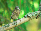 The nestling of a Pied Flycatcher. — Stock Photo