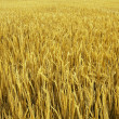 Golden field — Stock Photo #2756143