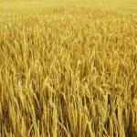 Golden field — Stock Photo
