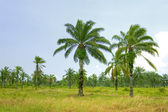 Palm oil plantation — Stock Photo