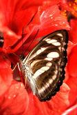 Butterfly feeding — Stock Photo