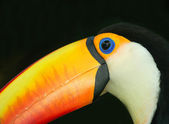 Toucan — Stock Photo