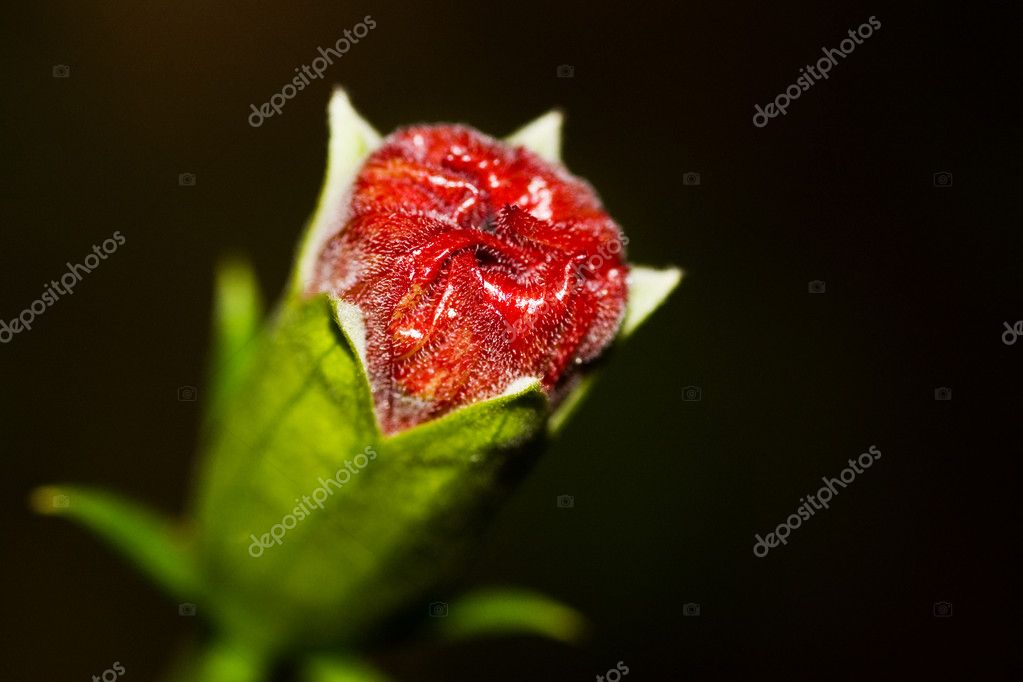 Hibiscus bud on black background   Stock Photo #2755292