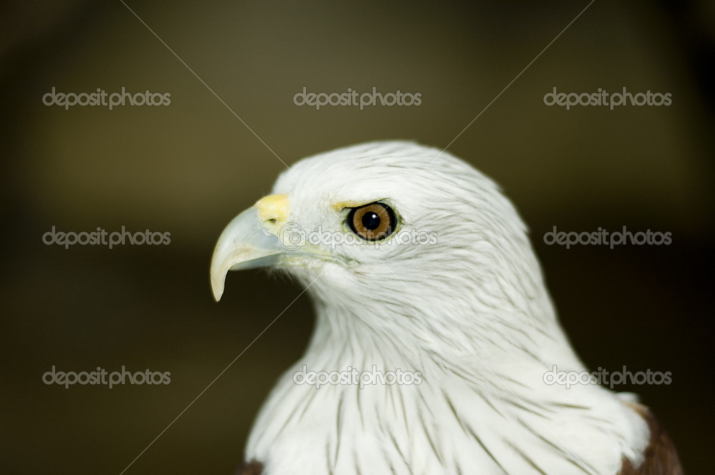 Eagle portrait  — Stock Photo #2755582