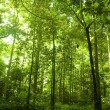 Green forest — Stock Photo #2760645