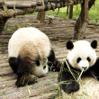 Stock Photo: Two pandbears