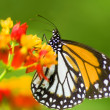 Monarch butterfly feeding on flower - Stock Photo