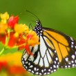 Monarch butterfly feeding on flower - Foto Stock