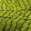 Tea plantation texture — Stock Photo