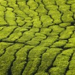 Tea plantation texture — Stock Photo #2764428