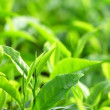 Stock Photo: tea leaf
