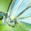 Close up blue butterfly - Stock Photo