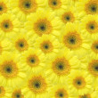 Yellow gerber background — Stock Photo