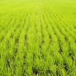 Green paddy fields — Stock Photo #2765139