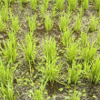Green paddy field (early stage) — Stok fotoğraf
