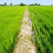 Path at green paddy fields — Stock Photo