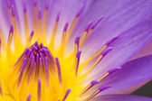 Water lily closeup — Stock Photo