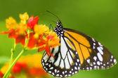 Farfalla monarca nutrendosi di fiore — Foto Stock