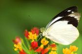 Butterfly feeding on flower — Stock Photo