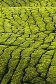 Tea plantation texture — Foto de Stock