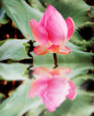 Reflection of beautiful pink lotus — Stock Photo