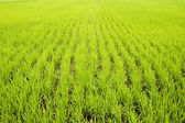 Green paddy fields — Stock Photo
