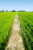 Path at green paddy fields — 图库照片
