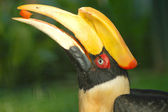 Hornbill feeding papaya — Stock Photo