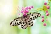 Pirinç kağıt kelebek — Stok fotoğraf