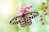 Rice Paper Butterfly — Stock Photo