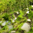 Terrace rice fields — Stock Photo #3110864