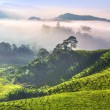Royalty-Free Stock Photo: Tea Plantations