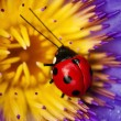 Stock Photo: Ladybug and waterlily