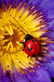 Ladybug and waterlily — Stock Photo