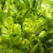 Stock Photo: Butterhead Lettuce