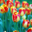 Mixed colored of tulips in a garden — Stockfoto