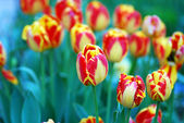 Mixed colored of tulips in a garden — Stock Photo