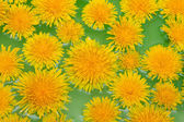 Yellow dandelions sail on green water — Stock Photo