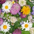 Stock Photo: Background from daisywheel, dutch clover, dandelion