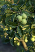 Green apples on branches — Stock Photo