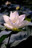 Lotus poud — Stock Photo