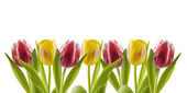 Tulips in a row — Stock Photo