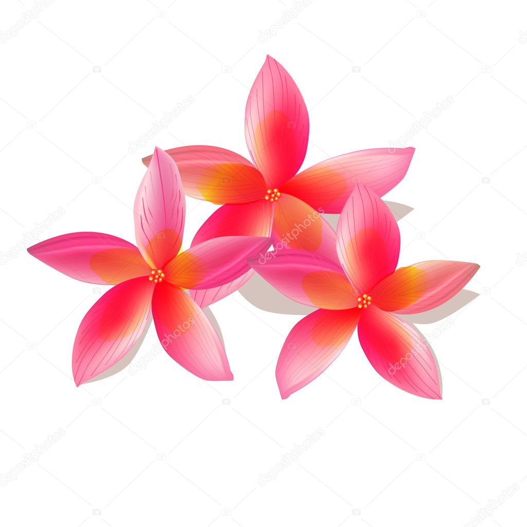 Isolated plumeria, vector illustration — Stock Vector #3426631